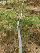 Moringa Baum